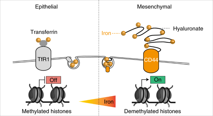 CD44 regulates epigenetic plasticity by mediating iron endocytosis