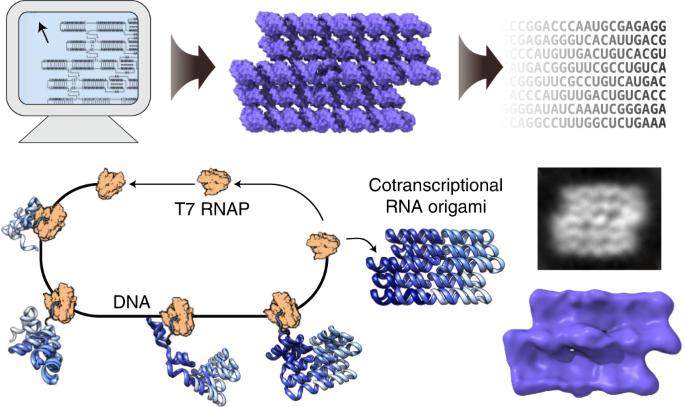 RNA origami design tools enable cotranscriptional folding of kilobase-sized nanoscaffolds