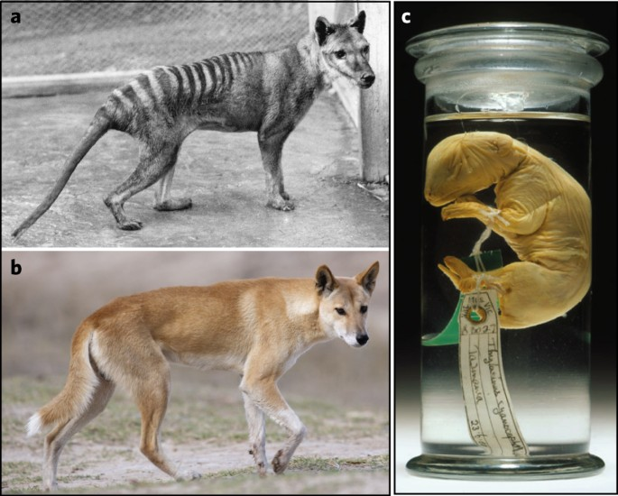 Genome Of The Tasmanian Tiger Provides Insights Into The Evolution And Demography Of An Extinct Marsupial Carnivore Nature Ecology Evolution
