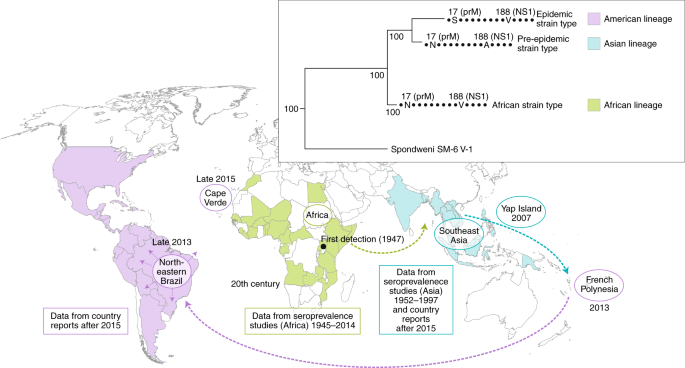 Vector-borne transmission and evolution of Zika virus