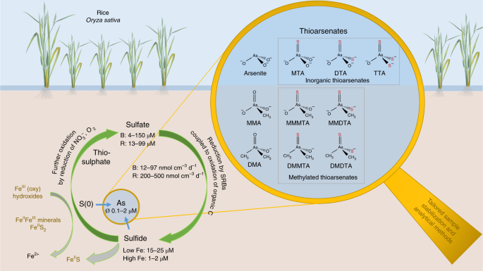Thiolated arsenic species observed in rice paddy pore waters