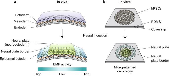 Mechanics Guided Developmental Fate Patterning Nature