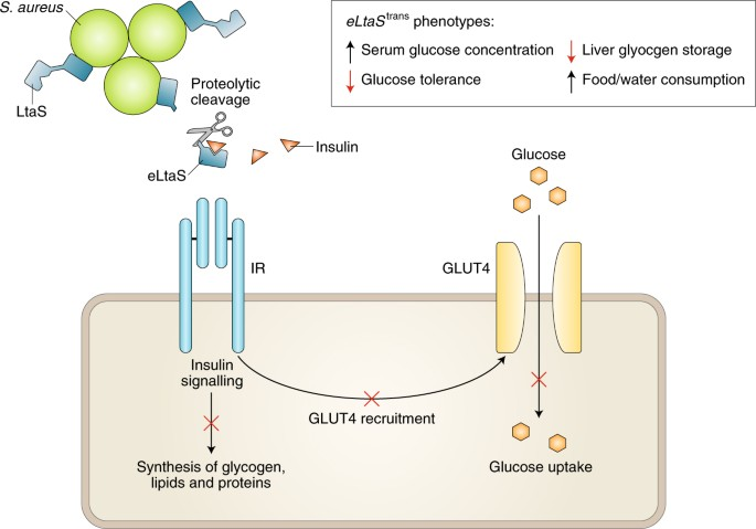eLtaS is cleaved from LtaS, a membrane-bound S. aureus enzyme involved in  lipoteichoic acid (LTA) biosynthesis. The soluble fragment, eLtaS, ...