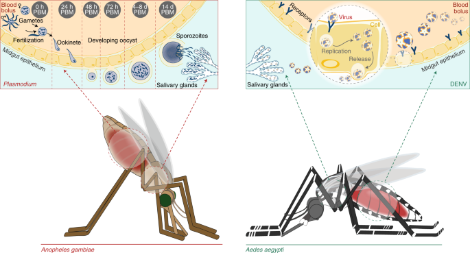 Vector biology meets disease control: using basic research to fight vector-borne diseases