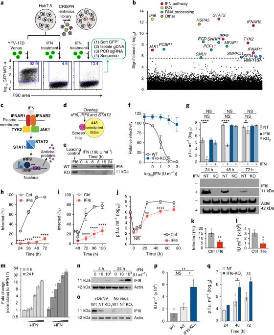 A CRISPR screen identifies IFI6 as an ER-resident interferon ...