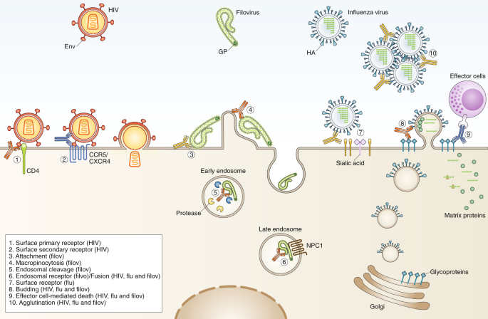 Antibody responses to viral infections: a structural perspective across three different enveloped viruses