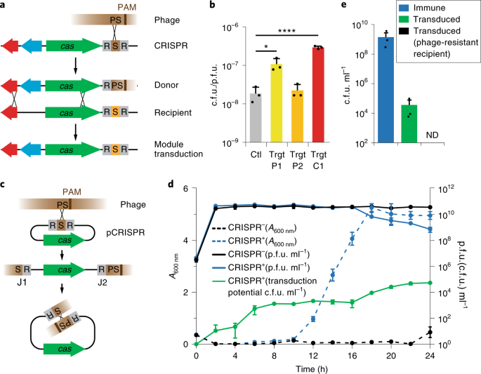 Recombination between phages and CRISPR−<i>cas</i> loci facilitates horizontal gene transfer in staphylococci