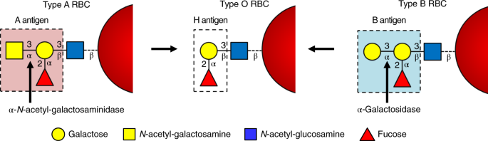 An enzymatic pathway in the human gut microbiome that converts A to universal O type blood