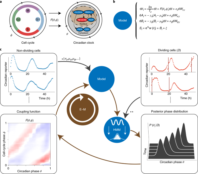 Low-dimensional dynamics of two coupled biological oscillators