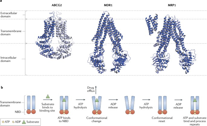 Ion channels and transporters in lymphocyte function and ...