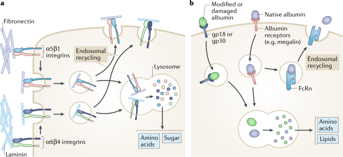 Nutrient scavenging in cancer | Nature Reviews Cancer on