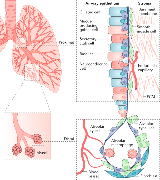 The lung microenvironment: an important regulator of tumour growth and metastasis