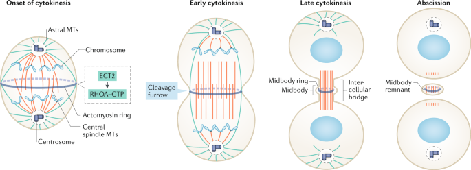 Cytokinesis defects and cancer | Nature Reviews Cancer