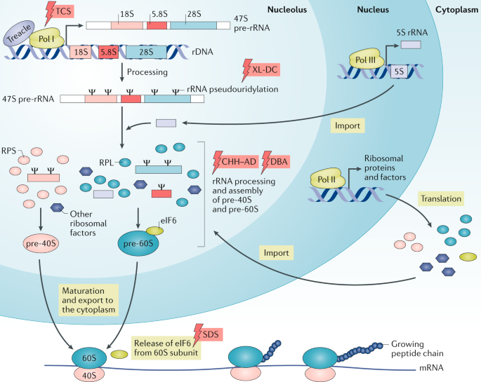 Rare ribosomopathies: insights into mechanisms of cancer