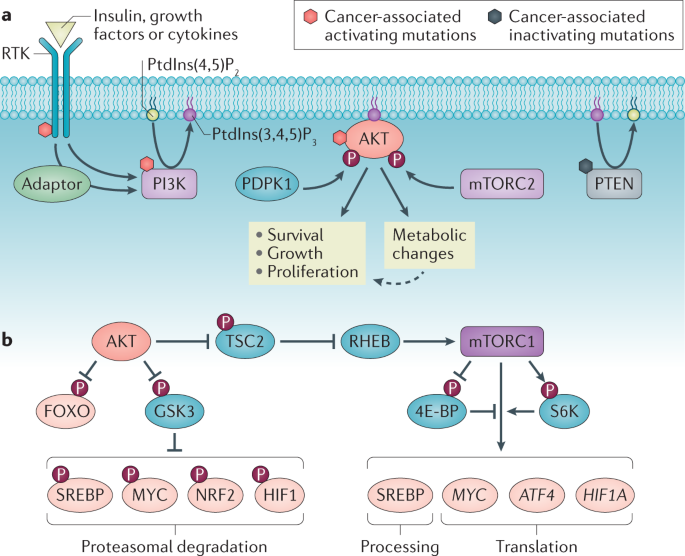The PI3K–AKT network at the interface of oncogenic signalling and cancer metabolism