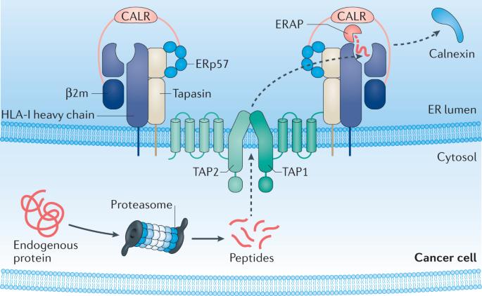 Antigen presentation in cancer: insights into tumour immunogenicity and immune evasion