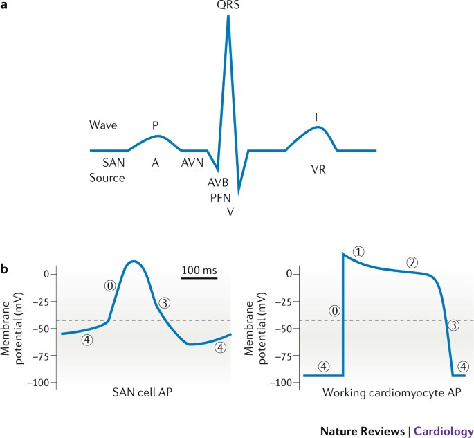 Transcriptional Regulation Of The Cardiac Conduction System Nature