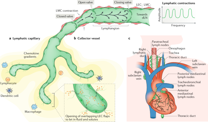 Cardiac lymphatics in health and disease | Nature Reviews Cardiology