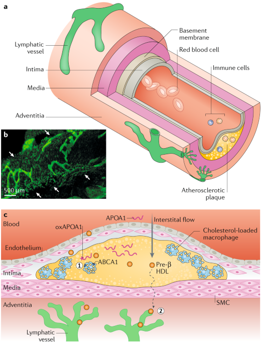 Cardiac Lymphatics In Health And Disease Nature Reviews Cardiology