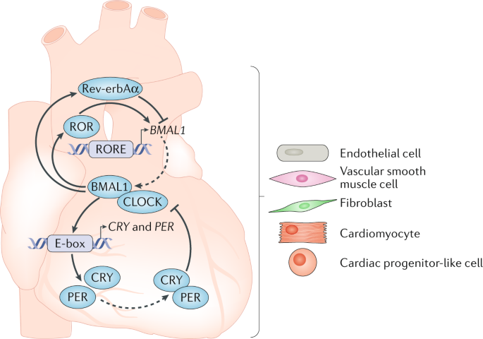 Circadian rhythms and the molecular clock in cardiovascular biology and disease