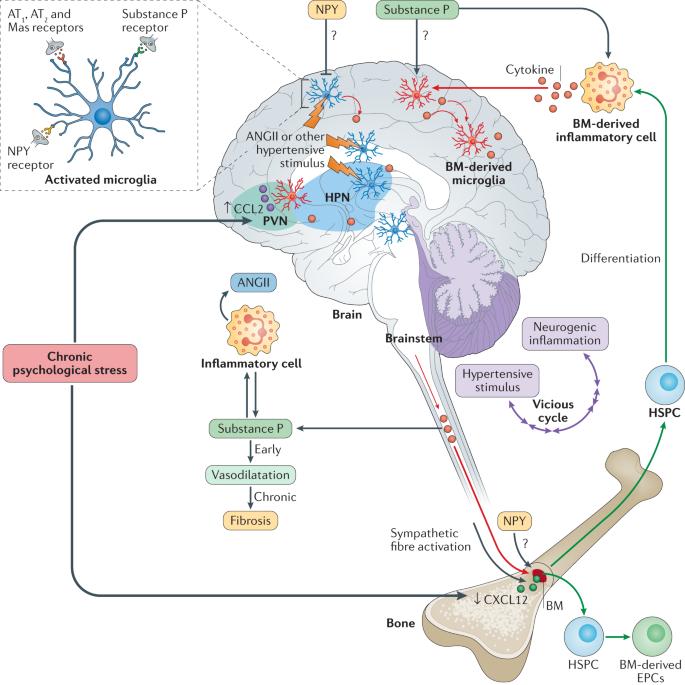 Neuroimmune crosstalk in the pathophysiology of hypertension