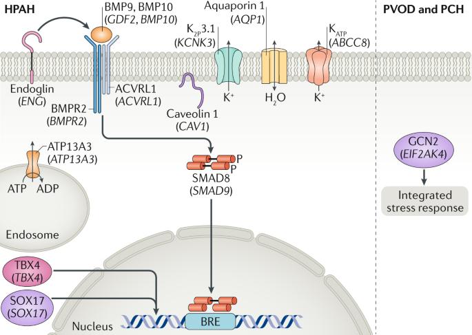 Molecular genetic framework underlying pulmonary arterial