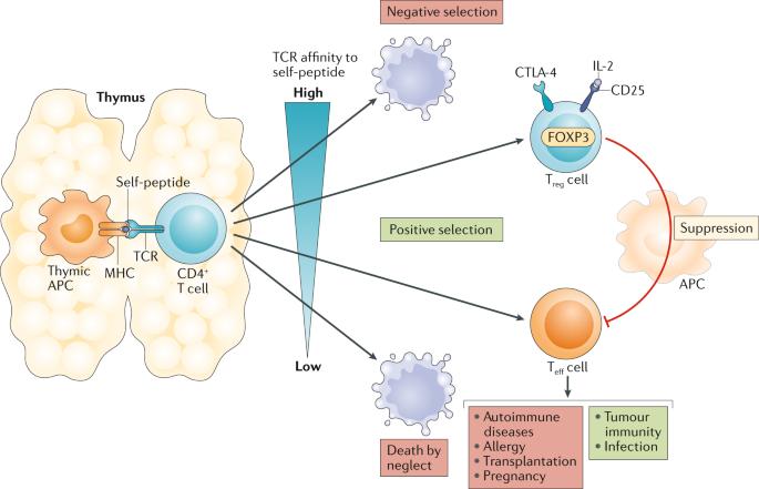 generation and effector functions of regulatory lymphocytes novartis foundation