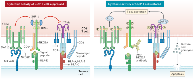 The NKG2A immune checkpoint — a new direction in cancer