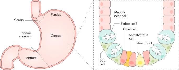 Autoimmune gastritis
