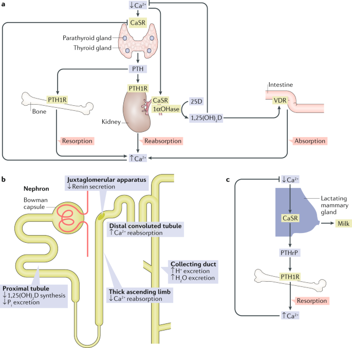 The calcium-sensing receptor in physiology and in calcitropic and noncalcitropic diseases