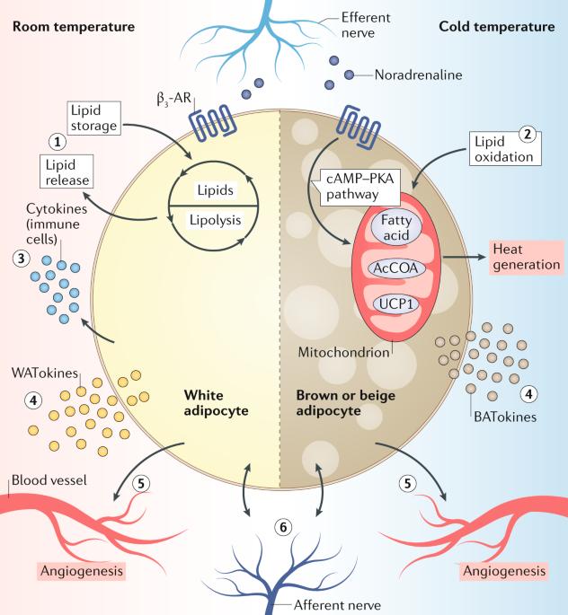 Molecular pathways linking adipose innervation to insulin ... on