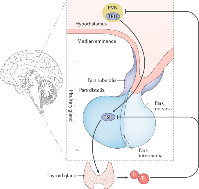 Interconnection Between Circadian Clocks And Thyroid Function Nature Reviews Endocrinology