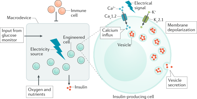 A novel cellular engineering approach to diabetes mellitus