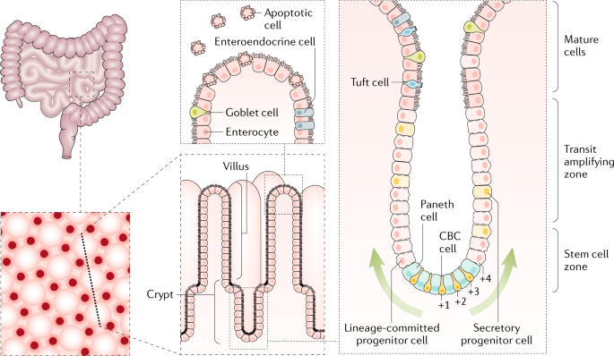 Tales From The Crypt New Insights Into Intestinal Stem Cells