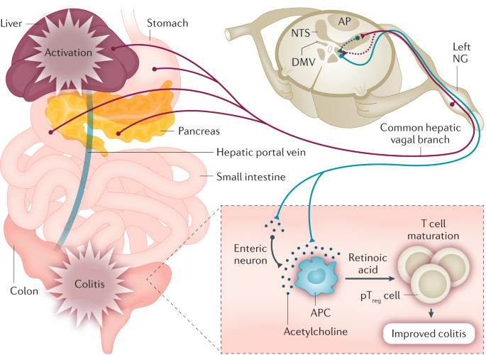 Non-canonical cholinergic anti-inflammatory pathway in IBD