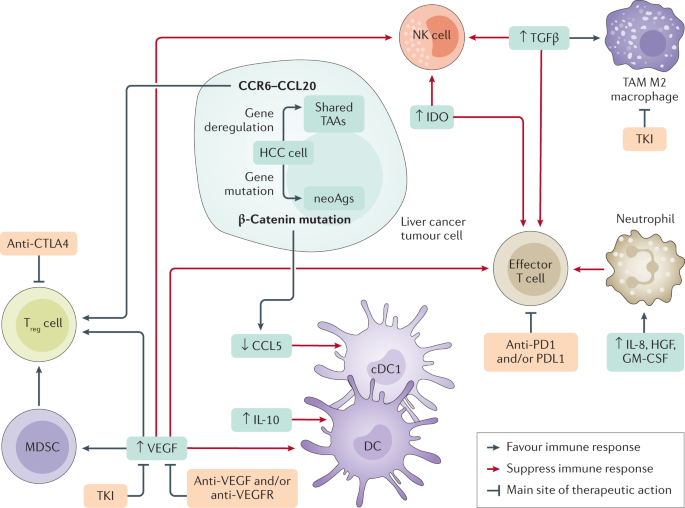 Advances in immunotherapy for hepatocellular carcinoma
