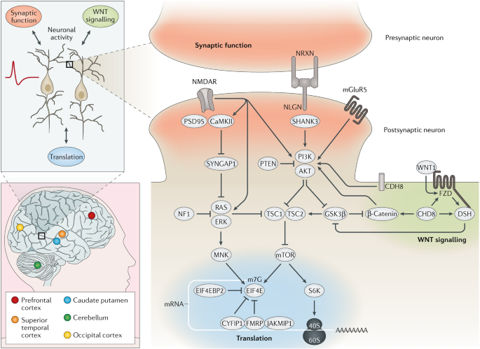 Autism spectrum disorder: insights into convergent mechanisms from transcriptomics