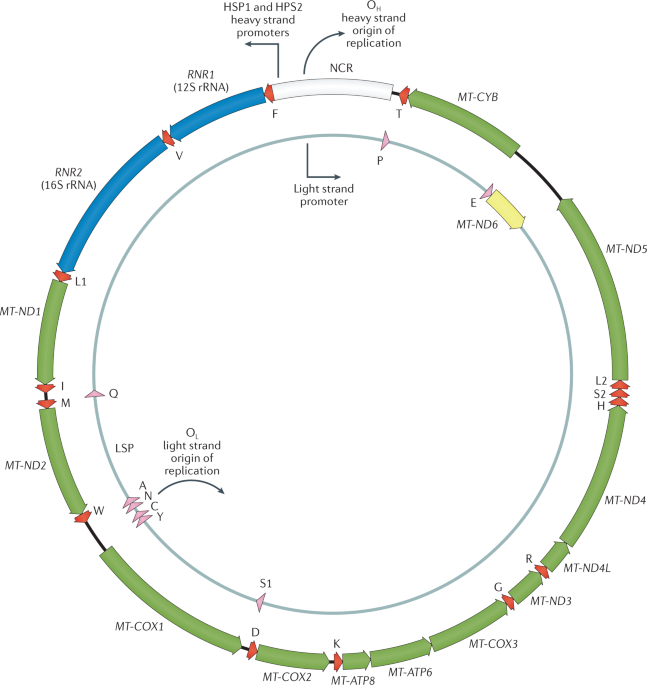 Extreme heterogeneity of human mitochondrial DNA from organelles to populations