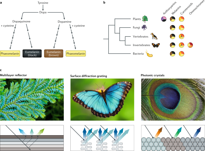 The genomics of coloration provides insights into adaptive evolution