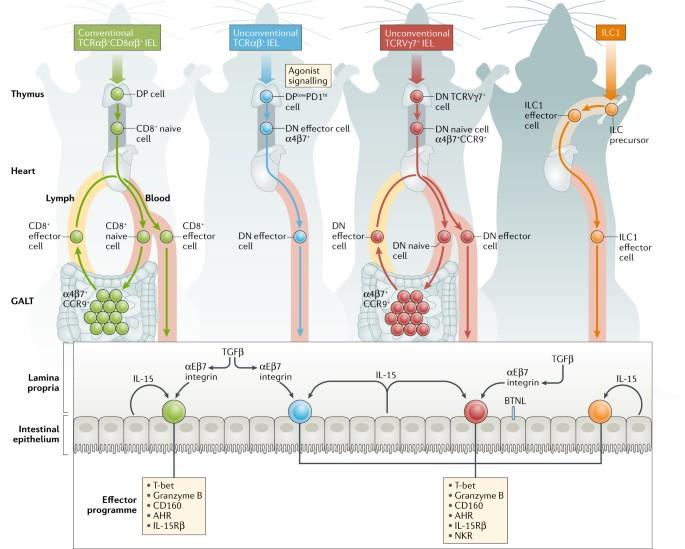 Diverse developmental pathways of intestinal intraepithelial