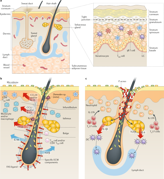The Immunological Anatomy Of The Skin Nature Reviews Immunology