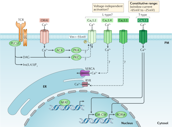 Calcium signalling in T cells | Nature Reviews Immunology