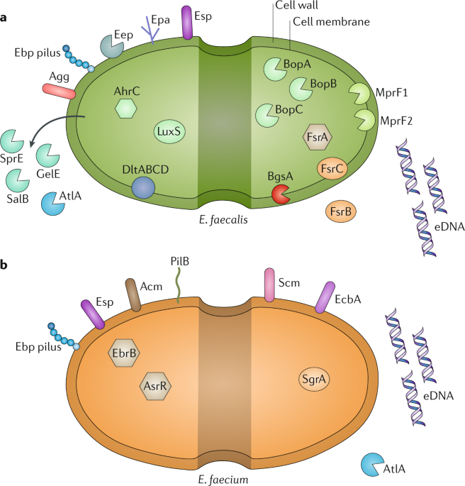 Biofilm-associated infection by enterococci   Nature Reviews