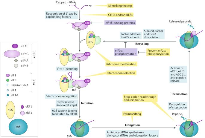 4bf48708e37e 1: Antiviral responses involving translation and viral RNA-based strategies  to manipulate translation. figure1