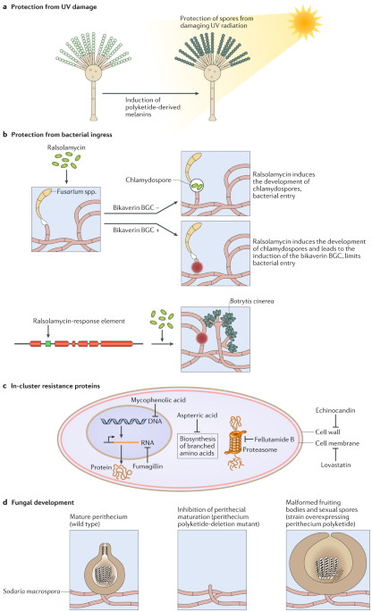 Fungal secondary metabolism: regulation, function and drug