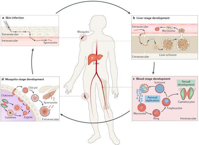 aszcariasis morfológia parazitaférgek kezelése