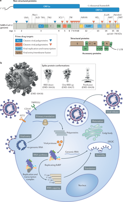 Structural biology of SARS-CoV-2 and implications for therapeutic development - Nature Reviews Microbiology