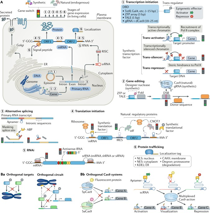 Designing Cell Function Assembly Of Synthetic Gene Circuits For Cell Biology Applications Nature Reviews Molecular Cell Biology
