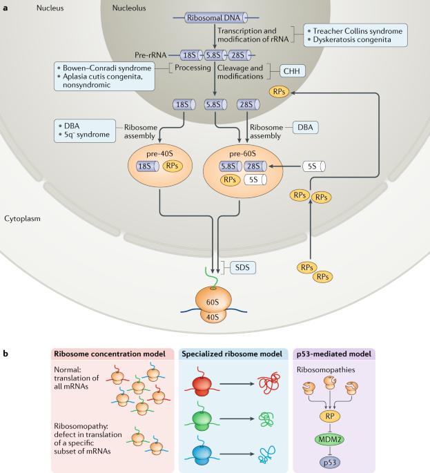 41580_2018_34_Fig3_HTML translation deregulation in human disease nature reviews molecular