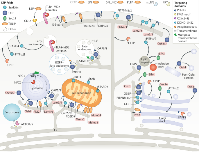 Lipid Transfer Proteins The Lipid Commute Via Shuttles Bridges And